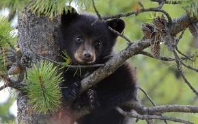 Картинка дерево, медведь, медвежонок, шишки, сосна