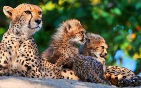 Обои семья, котята, гепард, мама, трое, мать