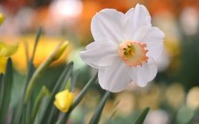 Картинка белый, цветок, блики, фон, нарцисс