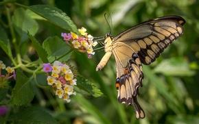 Картинка цветы, бабочка, крылья, лантана