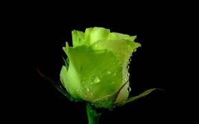 Картинка зеленый, роза, в темноте
