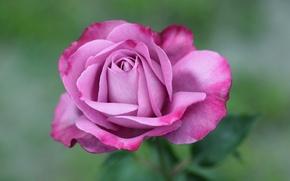Обои роза, розовая, макро
