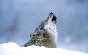 Картинка зима, снег, Волк, воет