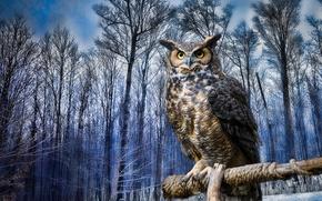 Обои Виргинский филин, зима, птица, сова, филин, деревья
