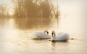 Обои вода, птицы, туман, пара, грация, дымка, белые, лебеди