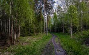 Картинка зелень, деревья, green, Лес, forest, роща, тропинка, trees, path