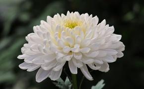 Картинка цветок, фото, хризантема
