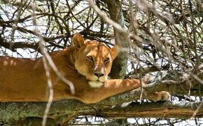 Картинка кошка, ветки, дерево, отдых, львица