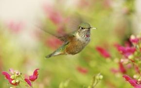 Картинка макро, колибри, птичка, в полете, hummingbird