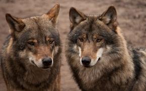 Картинка пара, серые, двое, волки