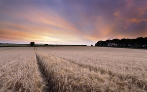 Картинка поле, пейзаж, закат, колосья