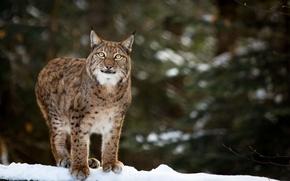 Картинка зима, морда, снег, хищник, рысь, дикая кошка, взгляд вверх