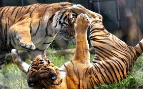 Картинка игра, хищники, драка, дикие кошки, парочка, тигры, зоопарк, разборки
