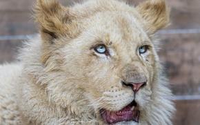 Картинка кошка, белый лев, голубые глаза, ©Tambako The Jaguar, морда, львёнок