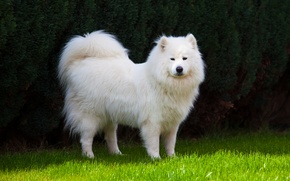 Картинка трава, собака, лайка, пёс, самоед, самоедская