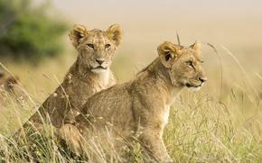 Обои савана, львы, львята, лев