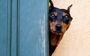 Картинка взгляд, морда, собака, доберман