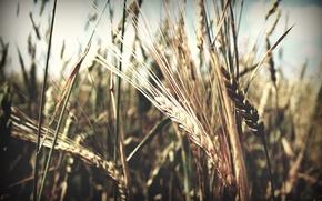 Картинка лето, июль, пшеница, пиво, рожь