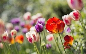 Обои клумба, цветы, тюльпаны, блики
