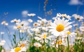 Картинка поле, цветы, ромашки, chamomile, field flowers