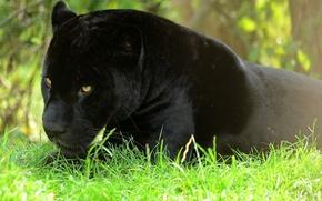 Картинка отдых, хищник, пантера, ягуар