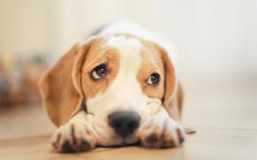 Картинка Dog, sad, eyes, animal, nose, muzzle
