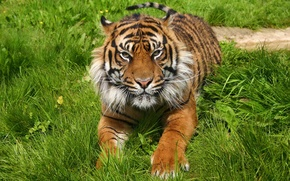 Картинка трава, морда, тигр, отдых, хищник, лапы