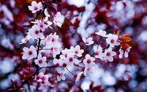 Обои цветок, макро, вишня, макросьемка