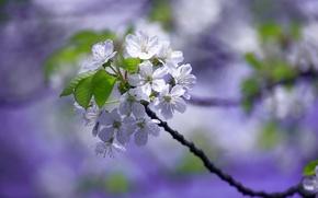Картинка вишня, весна, сад