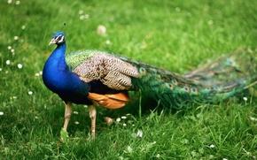 Картинка животные, птицы, отдых, перья, Индия, павлин, прогулка, путешествие, красавец, самец