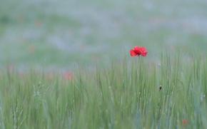Картинка цветок, трава, мак, луг