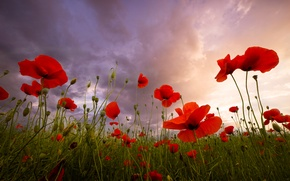 Картинка лето, цветы, красный, мак, маки