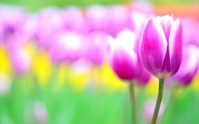 Обои цветы, розовый, тюльпан, размытость, тюльпаны, клумба
