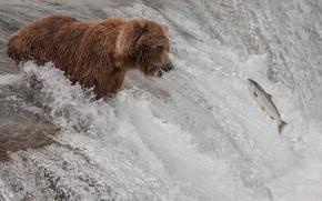 Картинка река, поток, рыба, медведь