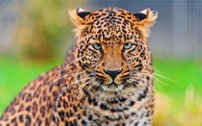 Картинка усы, взгляд, морда, леопард, leopard, красивый, panthera pardus