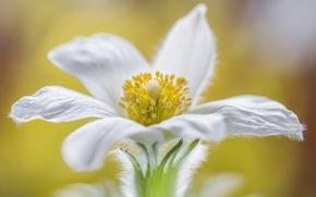 Обои сон-трава, лепестки, цветок, природа
