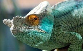 Картинка глаз, хамелеон, цвет, пресмыкающееся