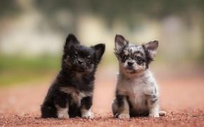 Картинка Чихуахуа, малыши, парочка, собаки, щенки