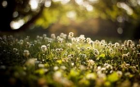 Картинка лето, трава, клевер