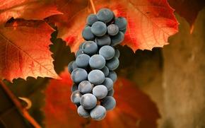 Обои макро, осень, Виноград, листья