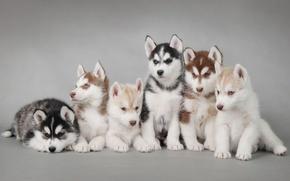 Обои собаки, щенки, хаски