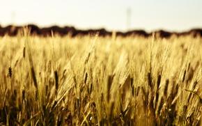 Картинка пшеница, поле, макро, фон, widescreen, обои, рожь, колоски, wallpaper, колосья, field, широкоформатные, background, macro, колосок, …