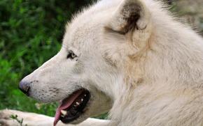 Картинка белый, морда, волк, хищник