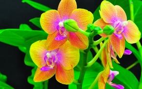 Картинка ветка, орхидеи, экзотика, бутоны