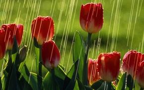 Картинка зелень, лето, солнце, дождь, тюльпаны, красные тюльпаны