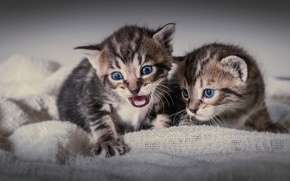 Картинка малыши, котята, двойняшки