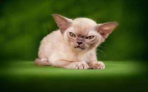 Картинка кошка, злая, Little demon