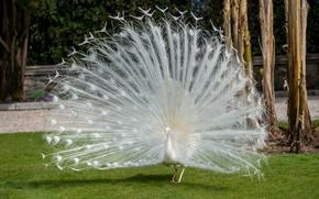 Обои красота, перья, Павлин, птица