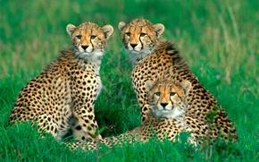 Картинка трава, семья, гепарды