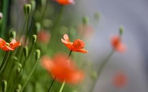 Картинка поле, лето, природа, маки, фокус, красные, много